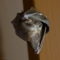 Common Slit-faced Bat