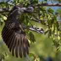 Grey Billed Hornbill