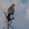 Goss Hawk