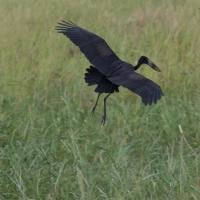 African Open Billed Stork