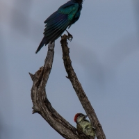 Burchell's Starling and Bennett's woodpecker