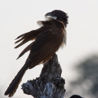 Senegal coucal