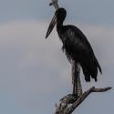 African Open Billed Stork.