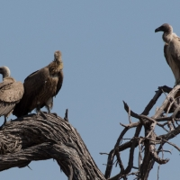 White back Vultures