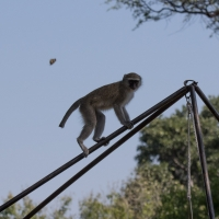 Vervet Monkey at camp
