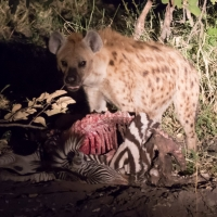 Hyena eating Zebra