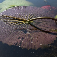 Night water lily leaf
