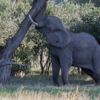 Elephant shaking tree for nuts
