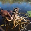 Water Lily Rhizome