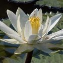 Night Water Lily
