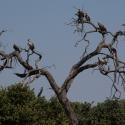 White back Vultures