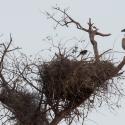 Buffalo weaver nest