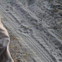 Animal tracks, Lion
