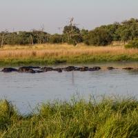 Hippo on River Khwai