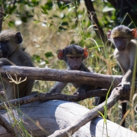 EVIL Baboons