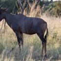 Buck tsessebe antelope