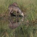 Female Waterbuck
