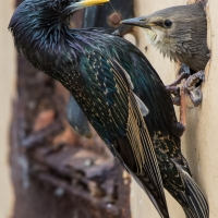 Starling feeding at home