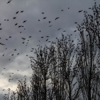 Starlings in our Poplar trees