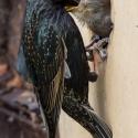 Starling feeding at home