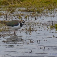 Lapwing, Elmley National Nature Reserve, Isle of Sheppey
