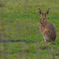 Hare, Elmley National Nature Reserve, Isle of Sheppey