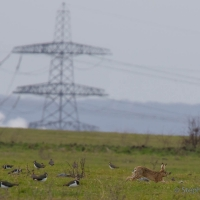Lapwing and Hare, Elmley National Nature Reserve, Isle of Sheppey