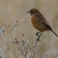 Stonechat, Elmley National Nature Reserve, Isle of Sheppey
