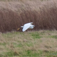 Little Egret, Elmley National Nature Reserve, Isle of Sheppey
