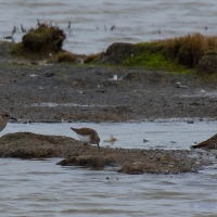 Dunlin, Golden Plover, Elmley National Nature Reserve, Isle of Sheppey