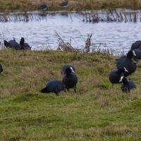 Coots, Elmley National Nature Reserve, Isle of Sheppey
