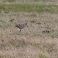 Curlew, Elmley National Nature Reserve, Isle of Sheppey