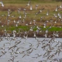 Dunlin, Golden Plover, Elmley National Nature Reserve, Isle of Sheppey
