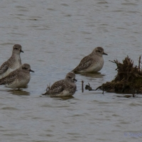 Golden Plover, Elmley National Nature Reserve, Isle of Sheppey