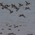 Wigeon, Elmley National Nature Reserve, Isle of Sheppey