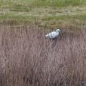Little Egret, Elmley National Nature Reserve, Isle of Sheppey