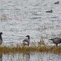 Brent Geese, Elmley National Nature Reserve, Isle of Sheppey