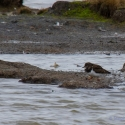 Turnstone, Golden Plover, Elmley National Nature Reserve, Isle of Sheppey