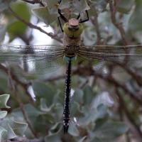 Saintes-Maries-de-La-er - Dragonfly