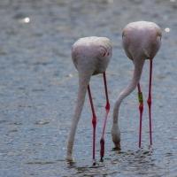 Saintes-Maries-de-La-Mer Flamingos