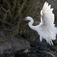 Saintes-Maries-de-La-Mer - Little Egret