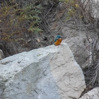Saintes-Maries-de-La-Mer - Kingfisher