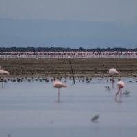Saintes-Maries-de-La-Mer, Flamingos