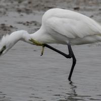 Saintes-Maries-de-La-Mer - Egret
