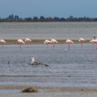 Saintes-Maries-de-La-Mer Headless flamingos
