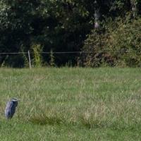 Cormoranche-sur-Saone - Heron