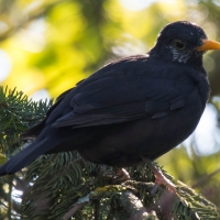 Luxémont-et-Villotte - Black bird in Camping Nature hedge