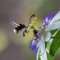Passion flower and bee