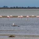 Saintes-Maries-de-La-Mer Headless flamingos