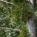 Cormoranche-sur-Saone - Ivy